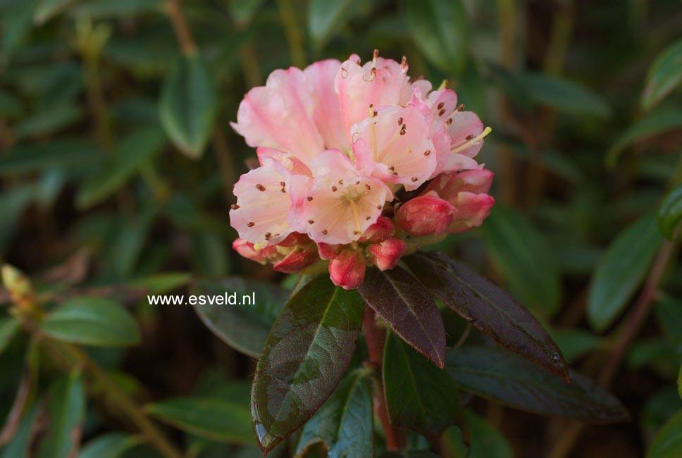 Rhododendron 'Waxbill'