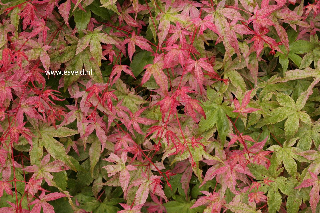 Acer palmatum 'Corallinum'
