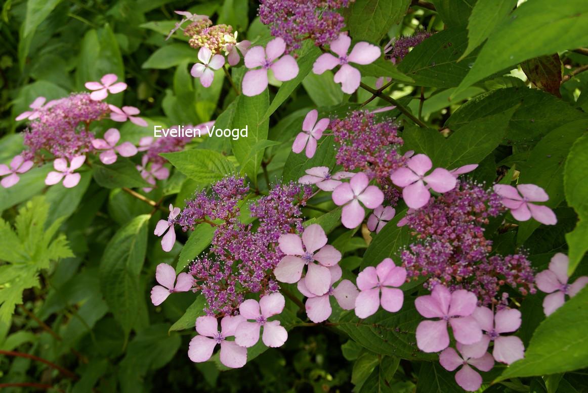 Hydrangea serrata 'Grayswood'