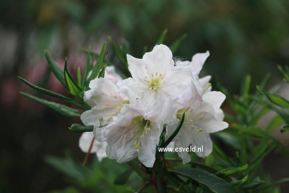 Rhododendron decorum subsp. diaprepes