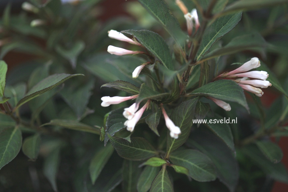 Weigela 'Courtacad1' (BLACK AND WHITE)