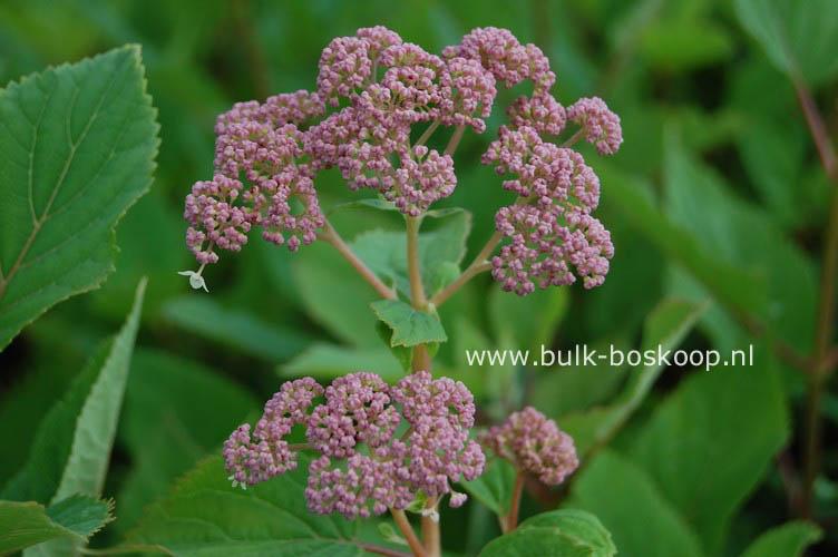 Hydrangea arborescens 'Pink Pincushion'