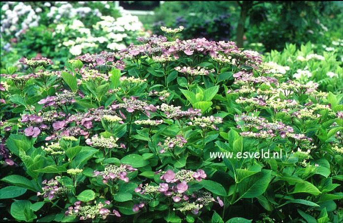 Hydrangea macrophylla 'Mariesii Perfecta'