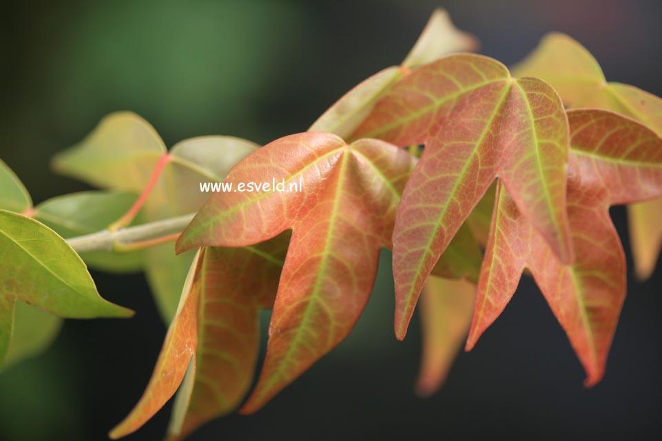 Acer buergerianum formosanum