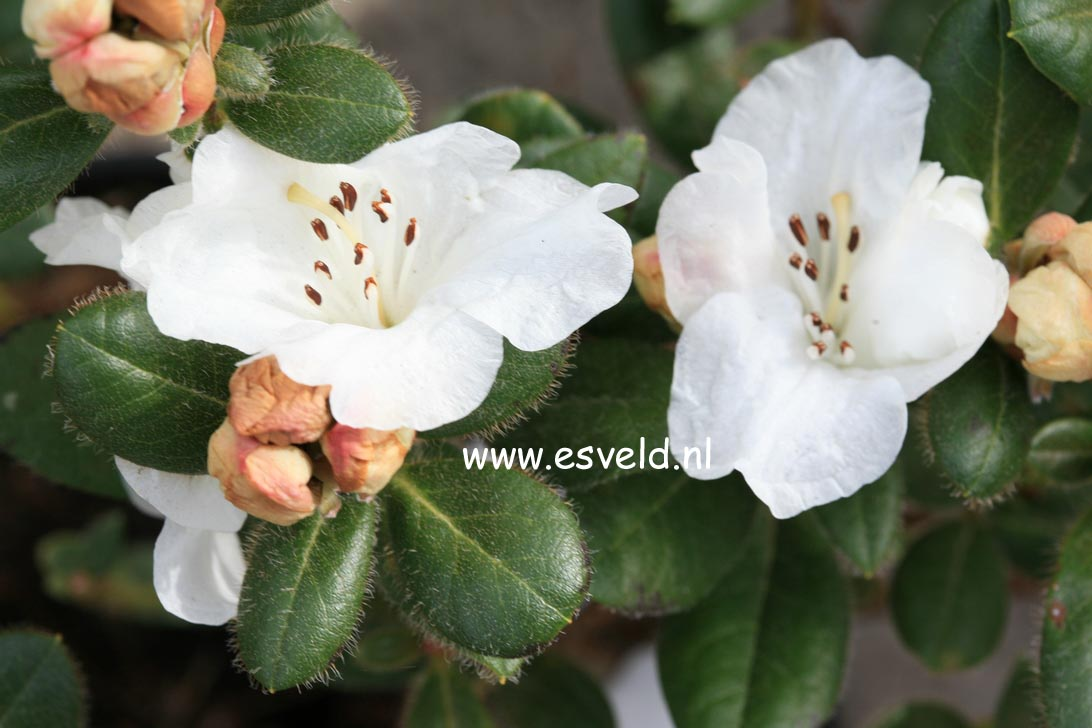 Rhododendron 'Silk Cap'