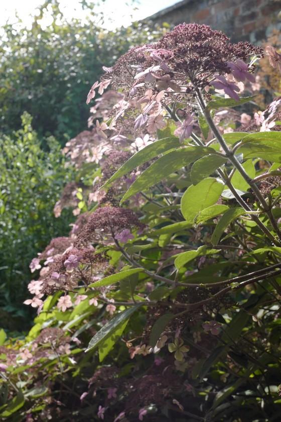 Hydrangea villosa