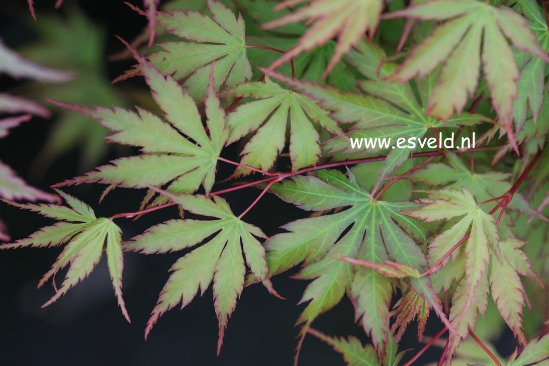 Acer palmatum 'Nogat'