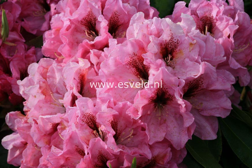 Rhododendron 'Ben Moseley'