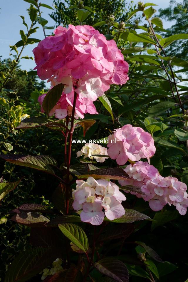 Hydrangea serrata 'Preziosa'