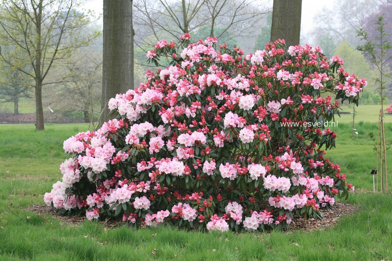 Rhododendron 'Seven Stars'