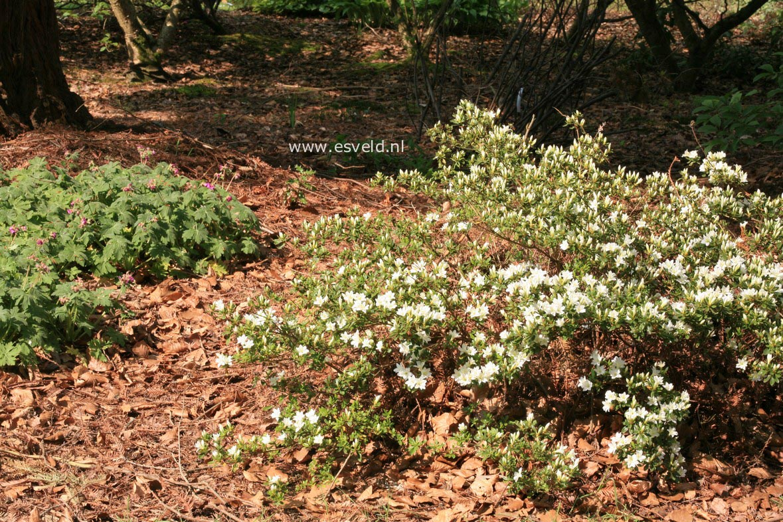 Rhododendron kiusianum 'Albiflorum'
