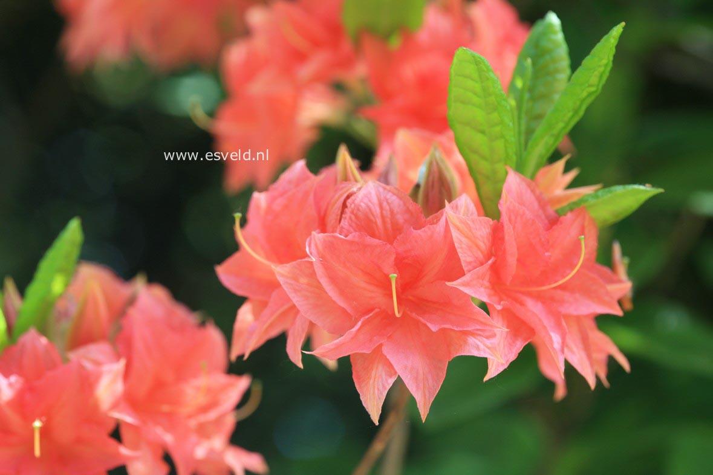 Rhododendron 'Norma' (Azalea)