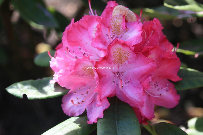 Rhododendron 'Lausitz'