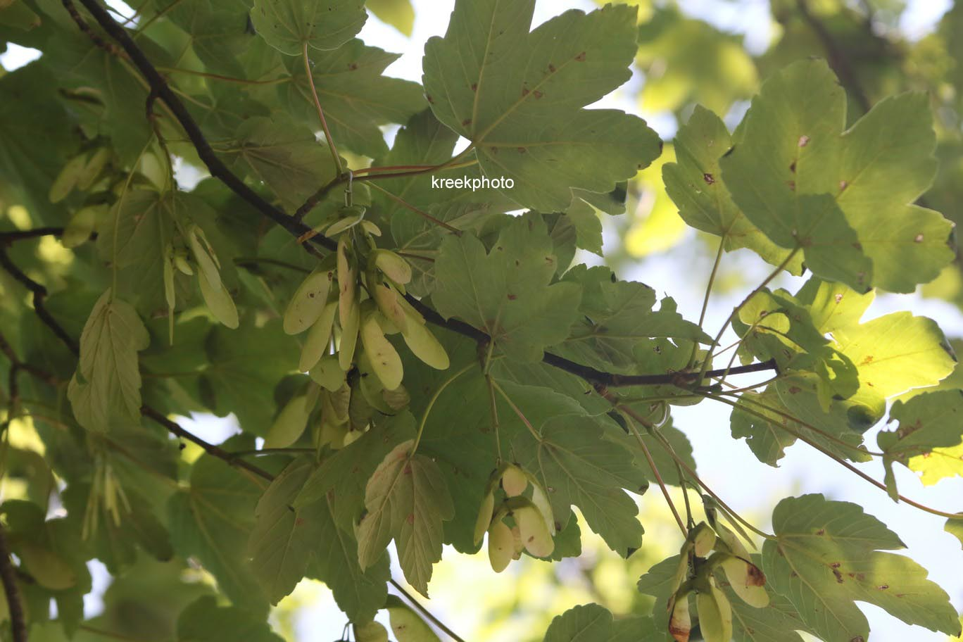 Acer opalus