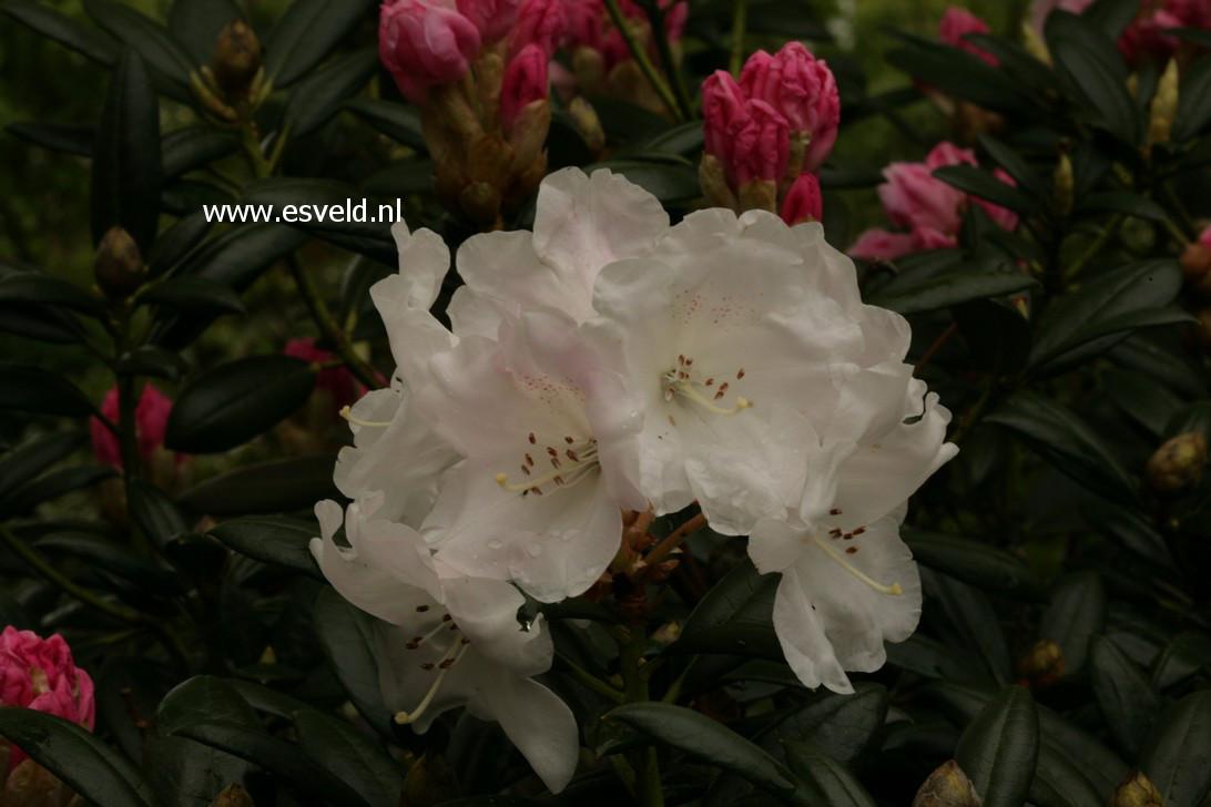 Rhododendron aberconwayi x yakushimanum