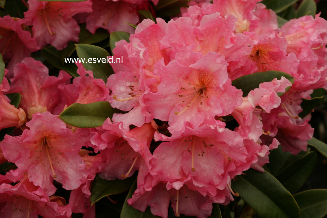 Rhododendron 'Orange Girl'