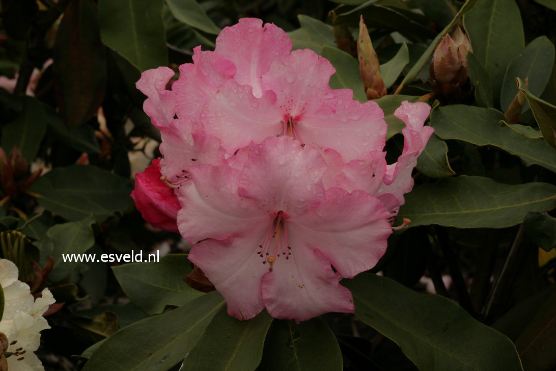 Rhododendron 'Pink Walloper'
