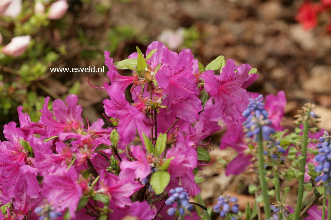 Rhododendron 'Matterhorn' (Azalea)