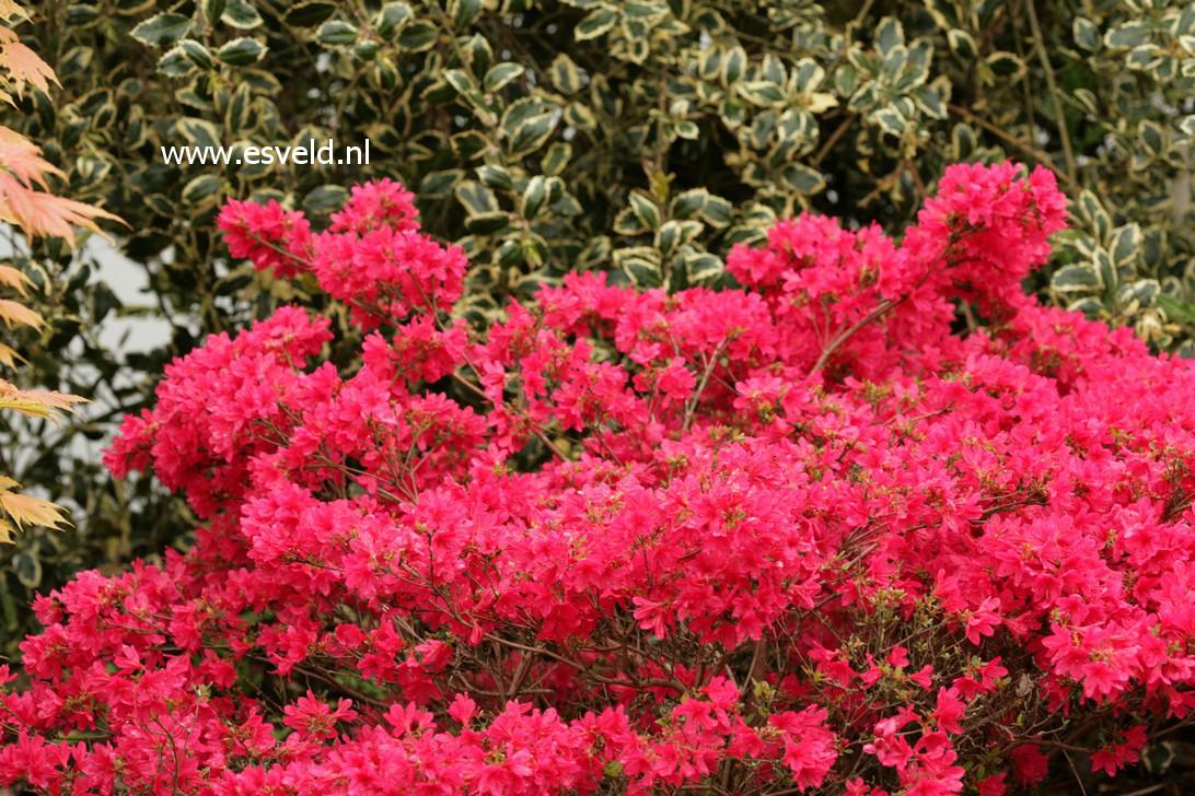 Rhododendron 'Apotheose' (Azalea)