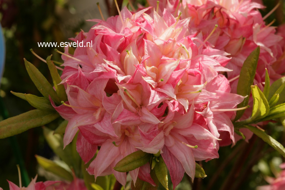 Rhododendron 'Homebush' (Azalea)