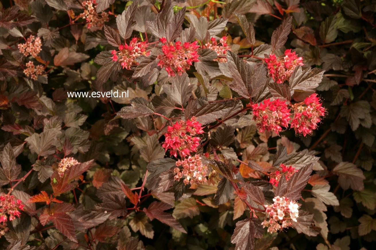 Physocarpus opulifolius 'Mindia' (DIABLE D'OR)