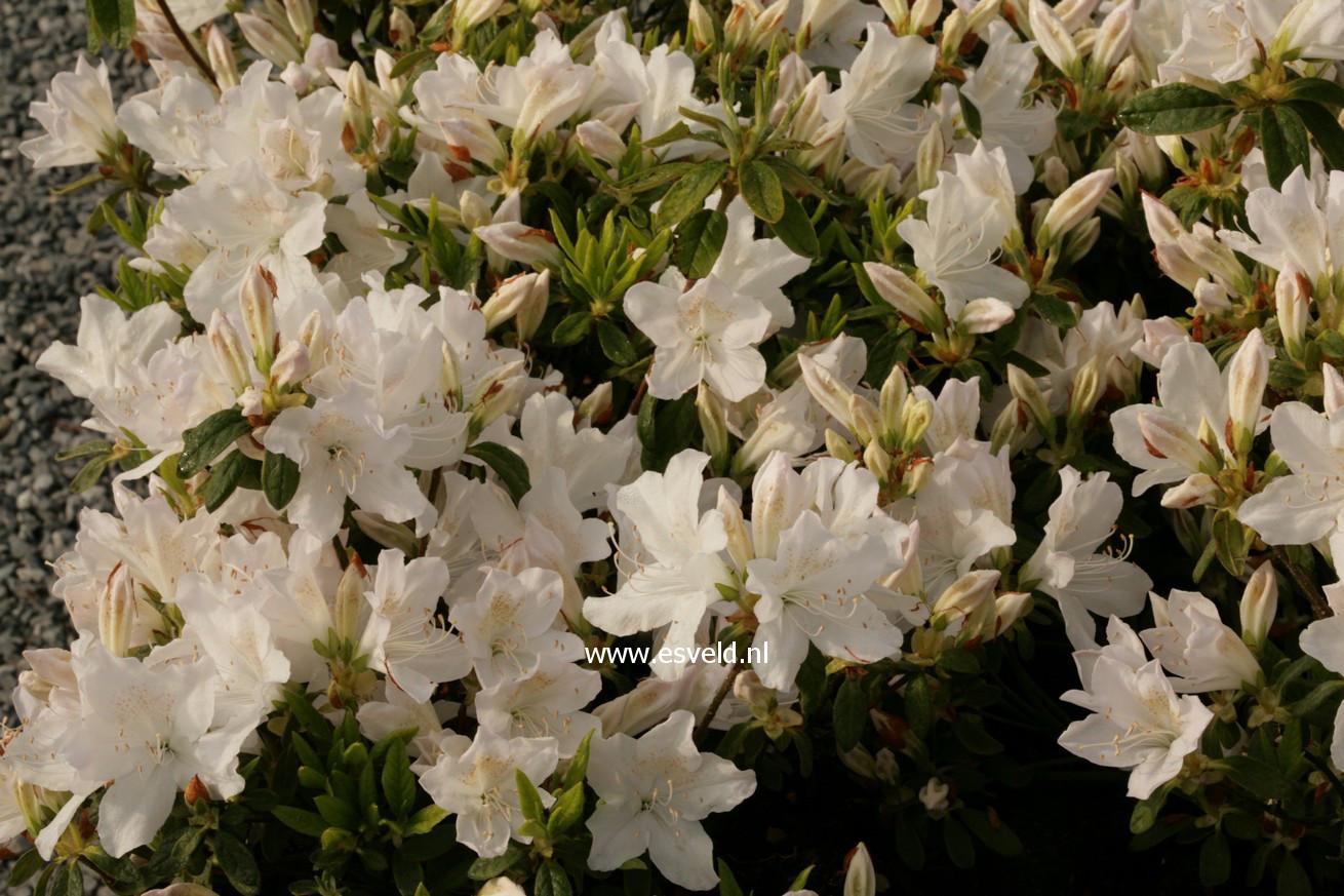 Rhododendron 'Adonis' (Azalea)
