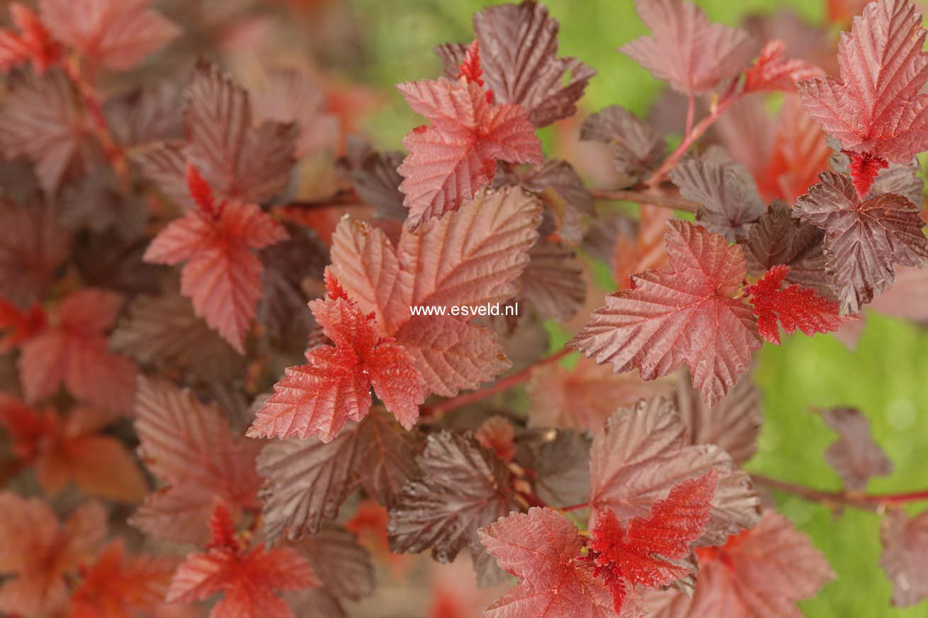 Physocarpus opulifolius 'Tuilad' (LADY IN RED)
