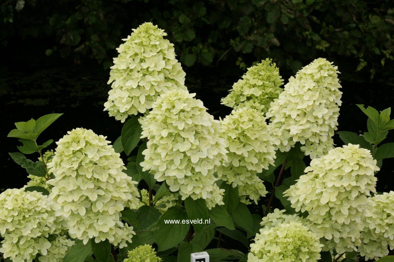 Hydrangea paniculata 'Bokraflame' (MAGICAL CANDLE)