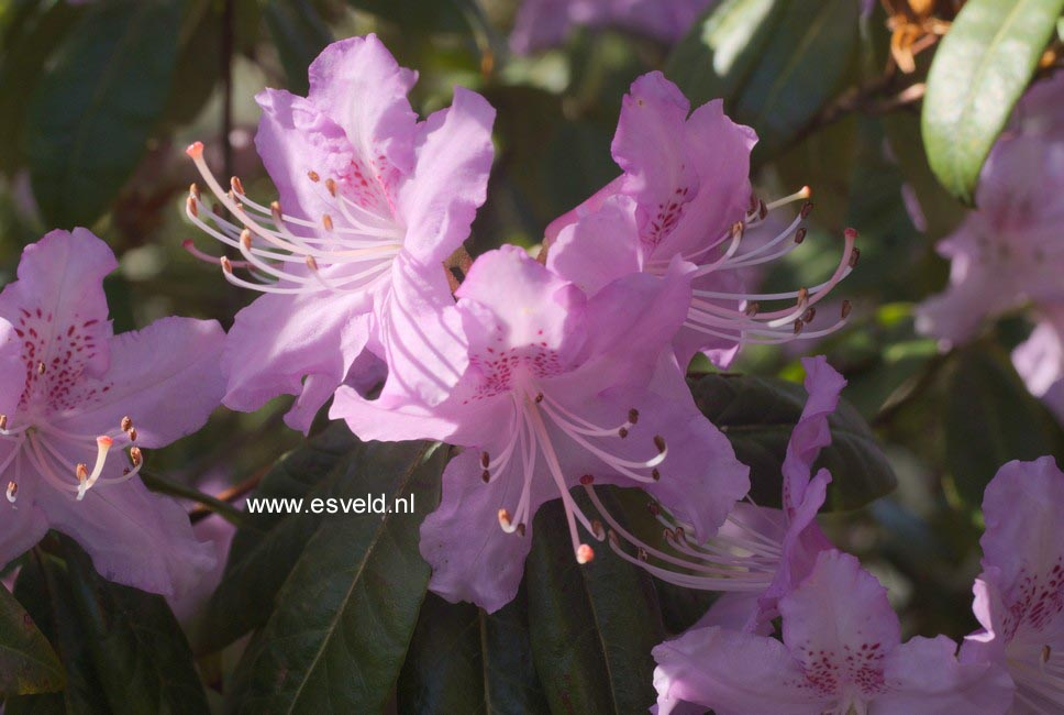 Rhododendron davidsonianum 'Lucky Hit'