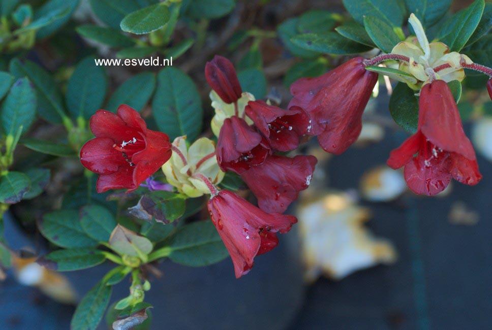 Rhododendron 'Carmen'