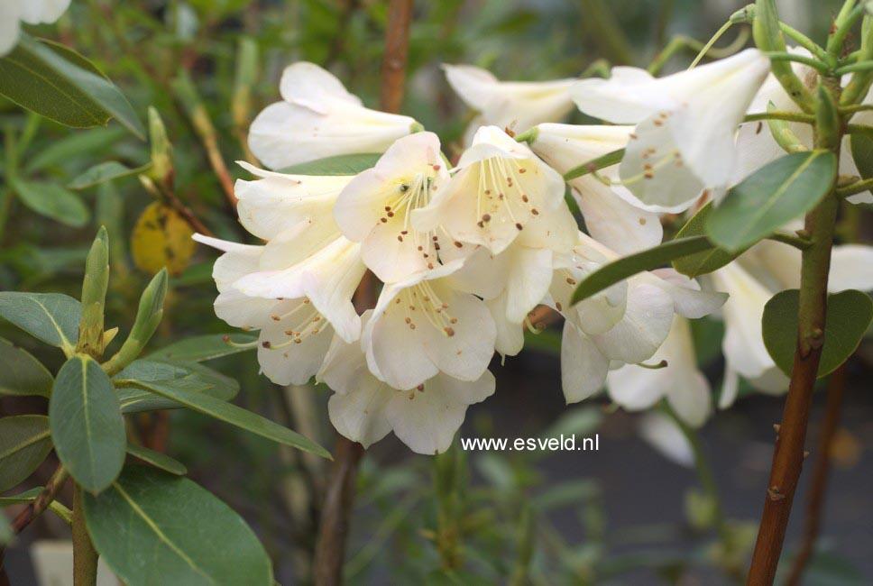 Rhododendron 'Alison Johnstone'