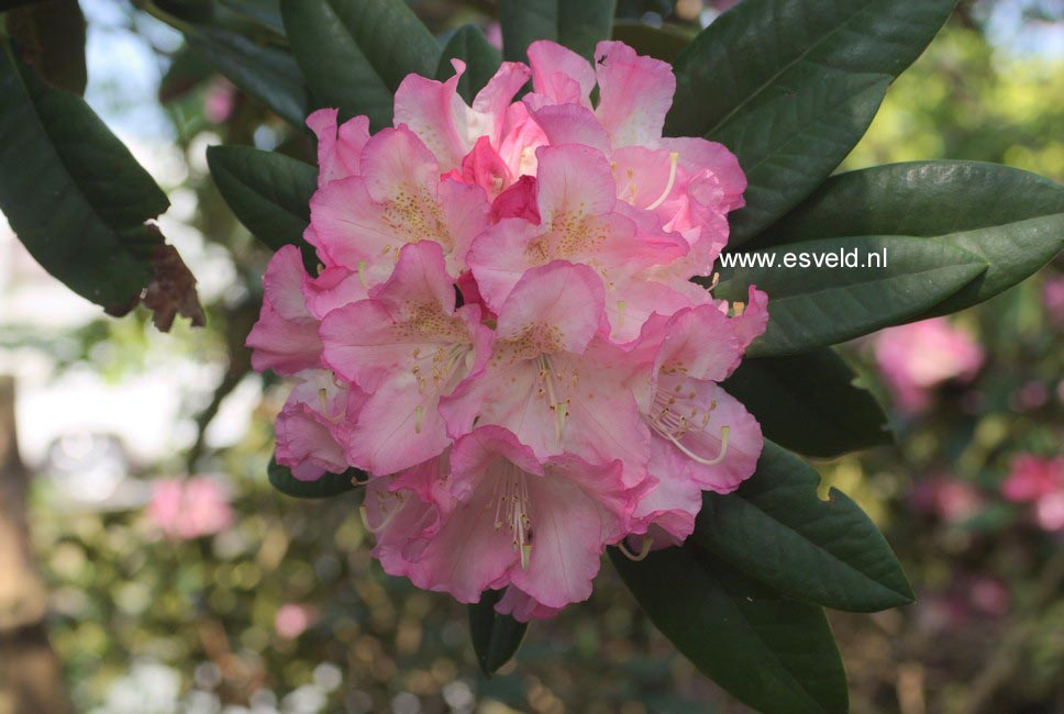Rhododendron 'Seestadt Bremerhaven'