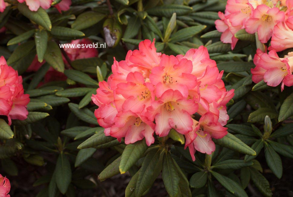 Rhododendron 'Red Sorbet'