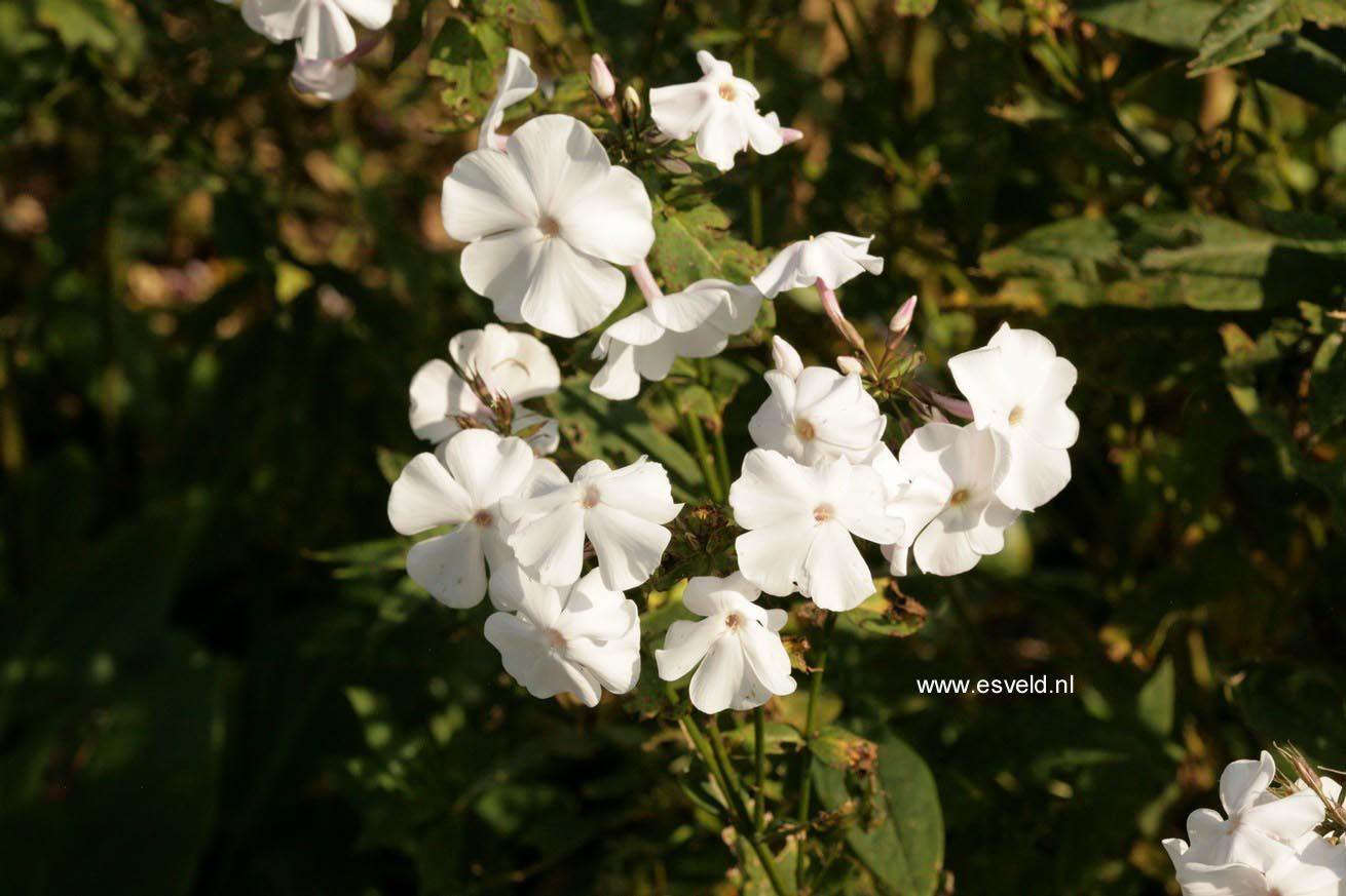 Phlox 'Anne' (Arendsii Group)