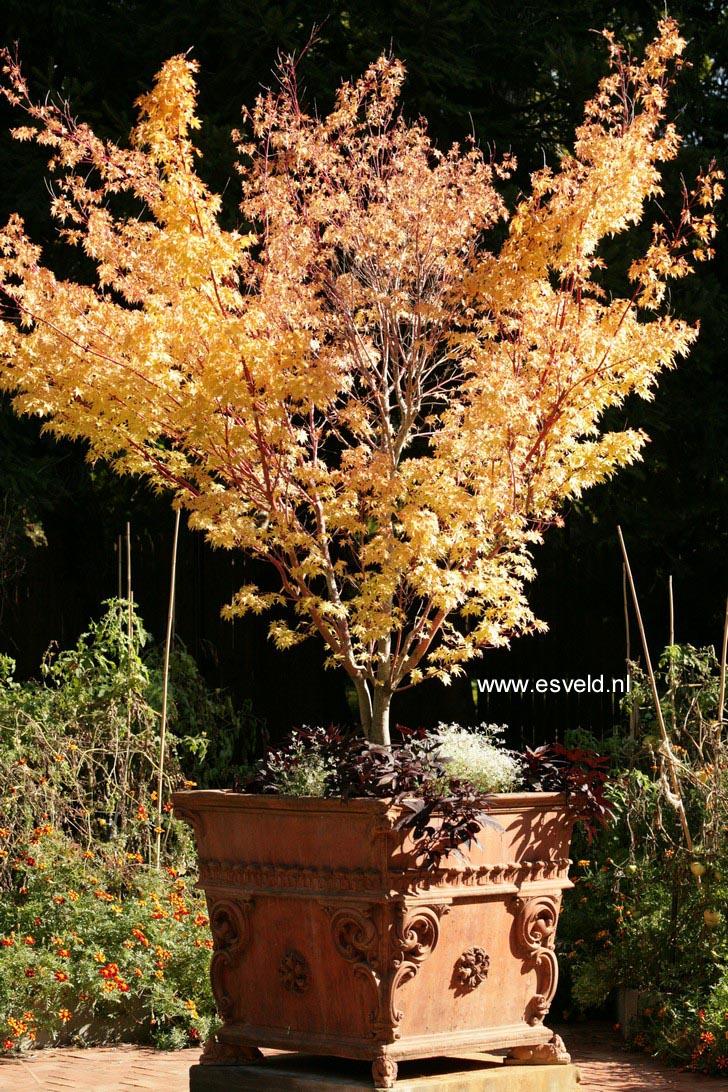 Acer palmatum 'Sango-kaku'