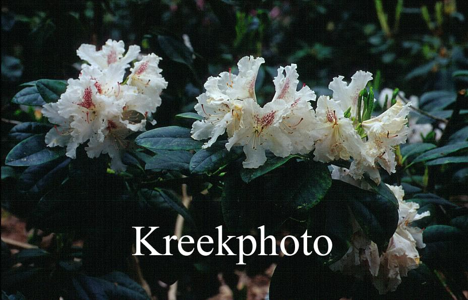 Rhododendron 'Le Progres'