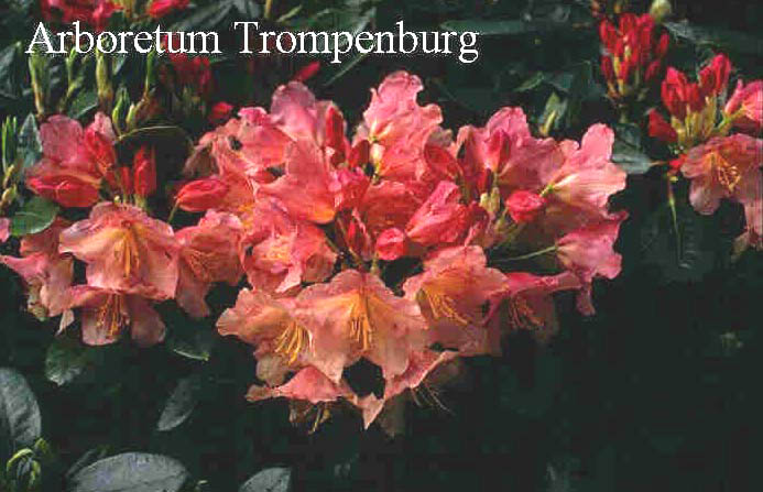 Rhododendron 'Antje'