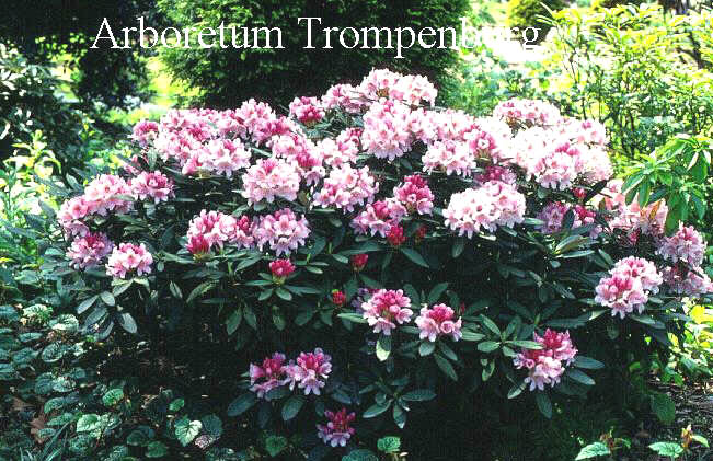 Rhododendron 'Nofretete'
