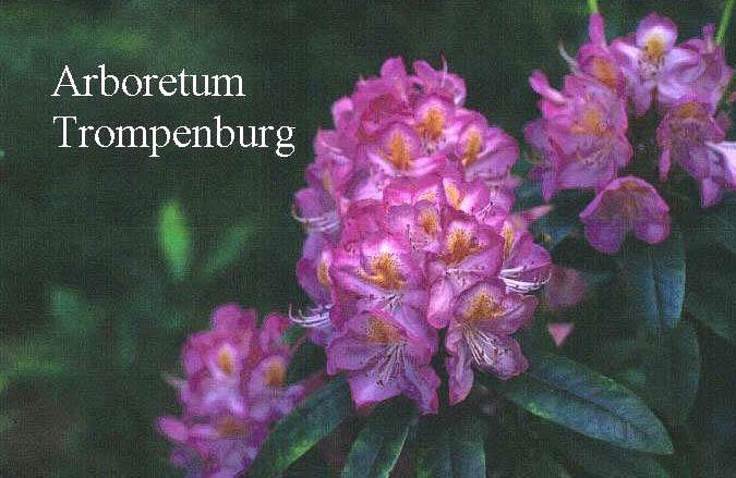 Rhododendron 'Midsummer'