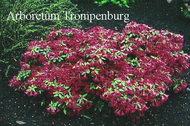 Rhododendron 'Treasure'