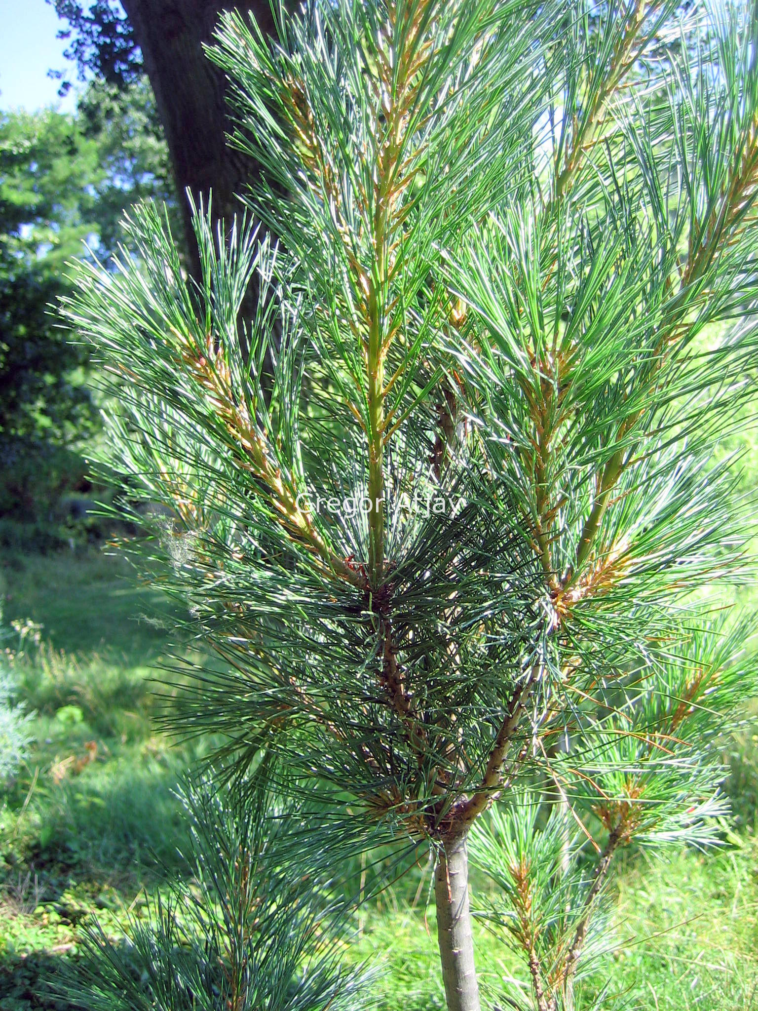 Pinus Strobus Stowe Pillar