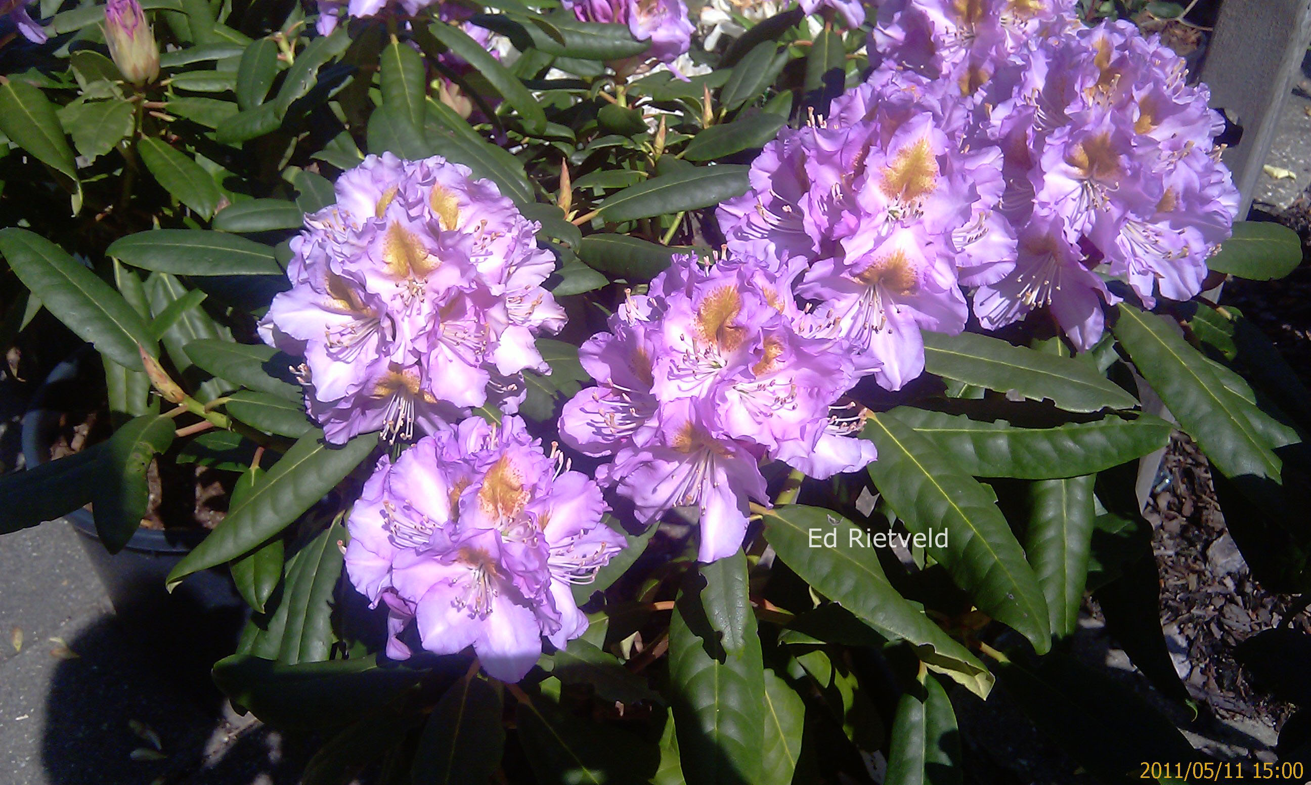 Rhododendron 'Ricarda'