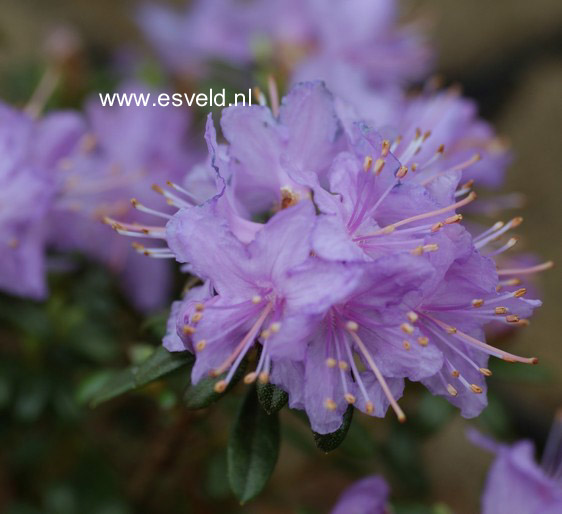 Rhododendron nivale boreale