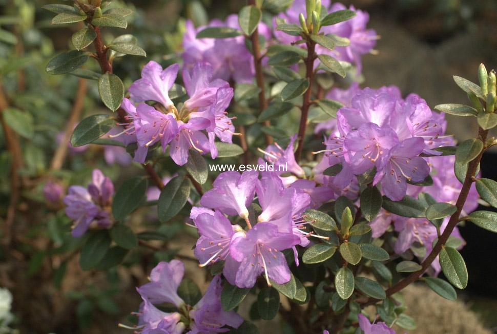 Rhododendron 'Barto Alpine'