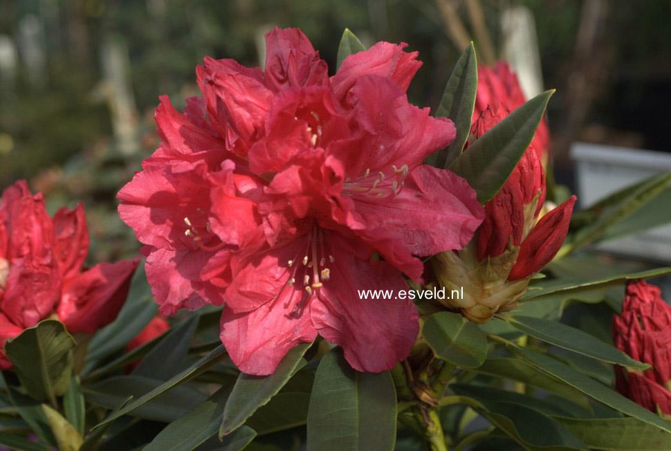 Rhododendron 'Unknown Warrior'