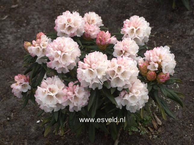 Rhododendron 'Blewbury'
