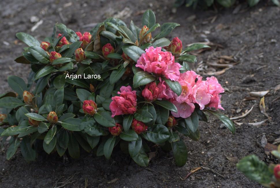 Rhododendron 'Elya'