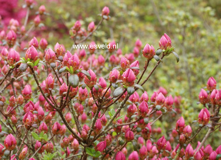 Rhododendron 'Granada' (Azalea)