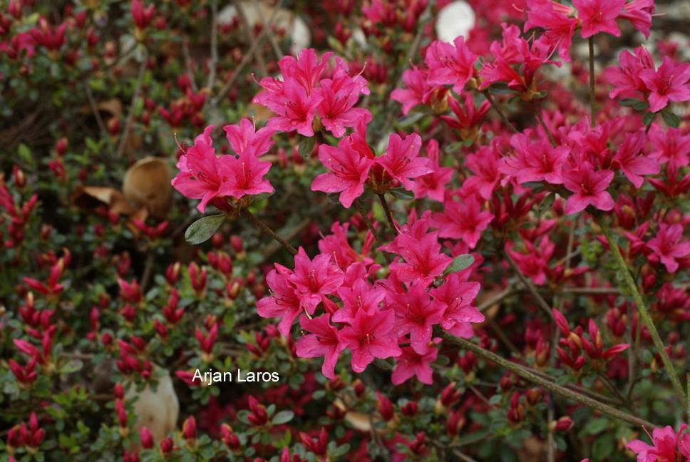 Rhododendron 'Kathleen' (Azalea)