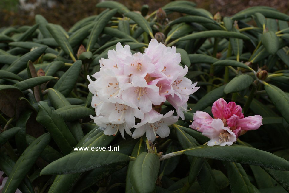 Rhododendron 'Great Dane'